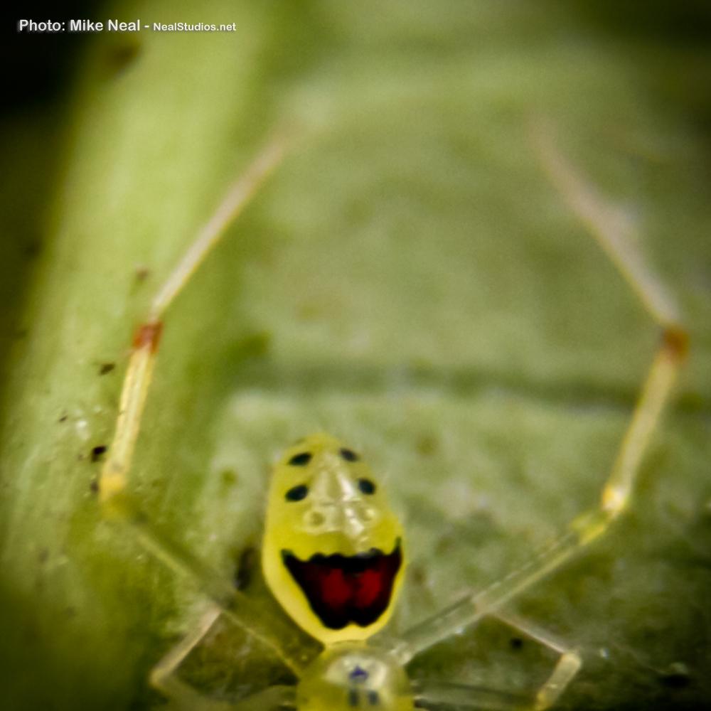 W.spider Neal Happy Face Spider